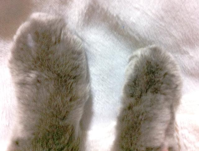 猫の腎不全で毎日受けてる点滴が足に溜まって巨大化-2