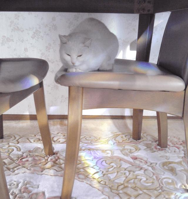 テーブルの下に収まった椅子の上で丸まる千代ちゃん