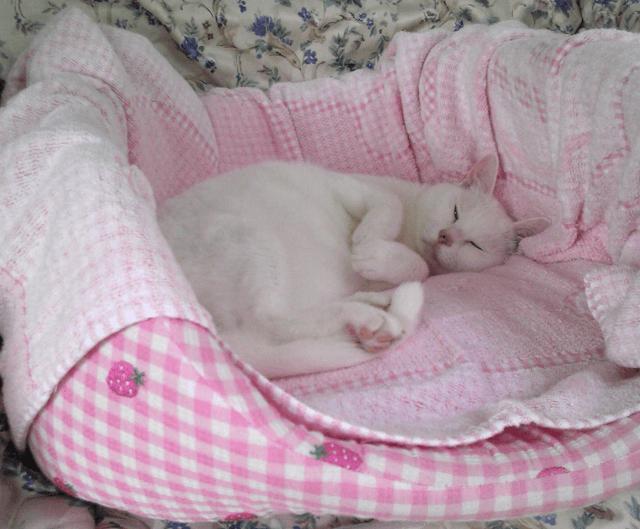 猫ベッドに寝転がる千代ちゃん