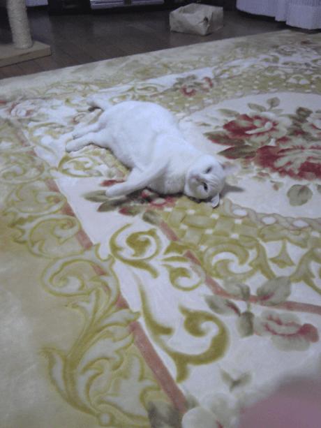 じゅうたんでゴロンとする千代ちゃん